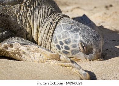Hawaii, Oahu, Laniakea Beach (Turtle Beach) on the North Shore, turtles