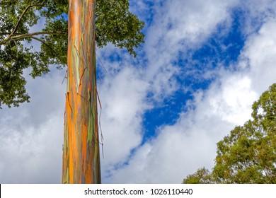 Hawaii Rainbow Eucalyptus Tree