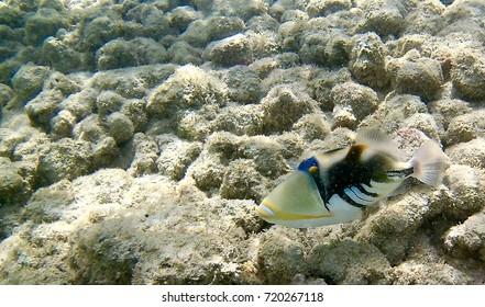 Hawaii State Fish:Humuhumunukunukuapua`a