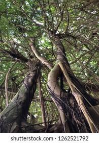 Hawaii: towering Banyan trees