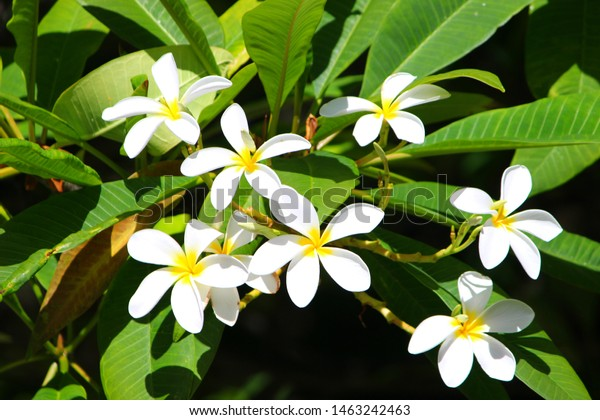 Hawaii white plumeria flower tree