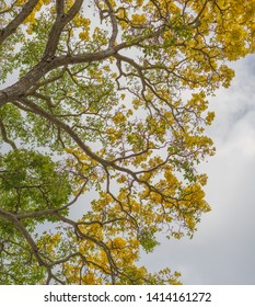 Hawaiian Acacia Tree with Yellow Flowers.  Manoa valley historical tree with cloudy skies above.