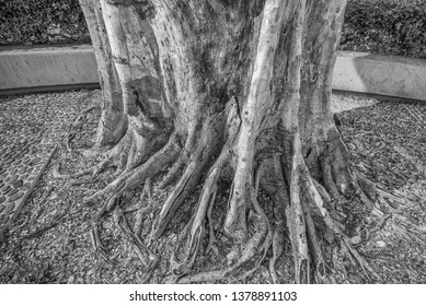 Hawaiian Bayan Tree Trunk and Roots.  Black and white view of a vintage tree base.