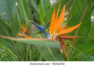 Hawaiian Bird of Paradise Flower with tones of green, orange, blue, and white.