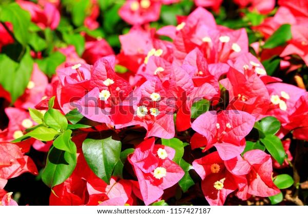Hawaiian bougainvillea pink flower