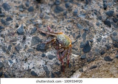 Hawaiian Crab on Rock
