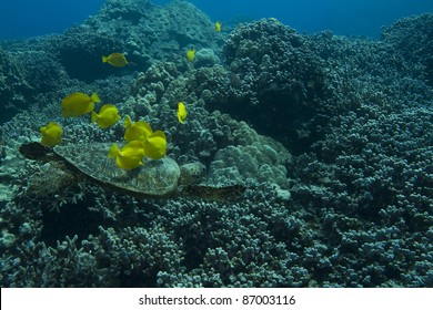 Hawaiian Green Sea Turtle being cleaned by Yellow Tangs.
