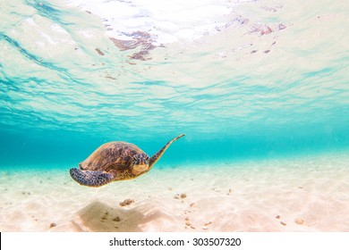 Hawaiian Green Sea Turtle cruises in the warm waters of Hawaii's Pacific Ocean