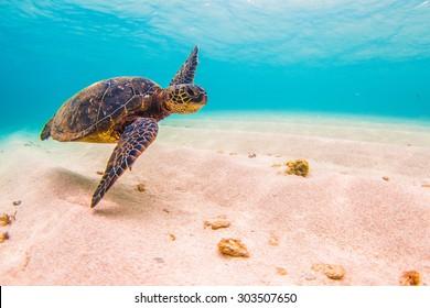 Hawaiian Green Sea Turtle Cruises in the warm waters of Hawaii's Pacific Ocean