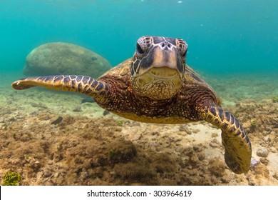 Hawaiian Green Sea Turtle cruising in the warm waters of Hawaii