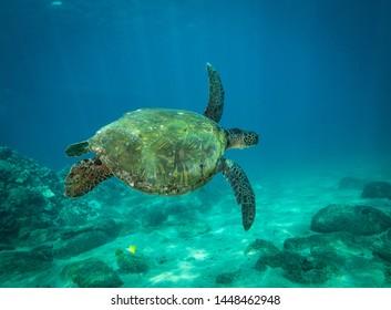 Hawaiian Green Sea Turtle on sand and over the reef