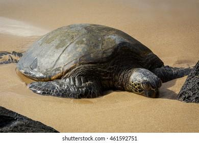 Hawaiian Green Sea Turtle on Yellow Sand Beach of Hawaii