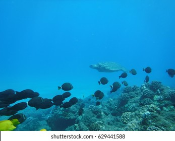 Hawaiian Green Sea Turtle photobombs with many different types of surgeonfish in the foreground