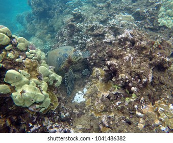 Hawaiian green sea turtle rests on coral reef in Honolua Bay in Maui