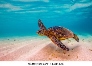 Hawaiian Green Sea Turtles cruising in the Hawaiian waters