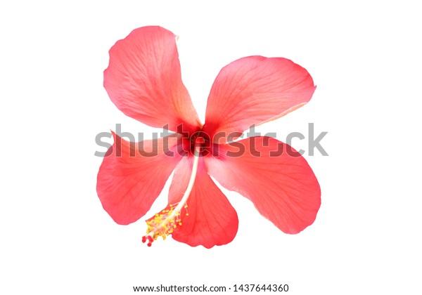 Hawaiian hibiscus flower isolated white