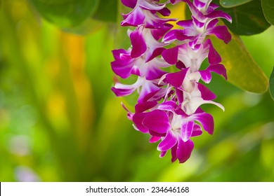 Hawaiian lei made of large beautiful orchid blooms