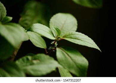 Hawaiian Mamaki plant endemic to Hawaii