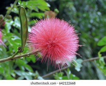 Hawaiian Mountain Apple Flower