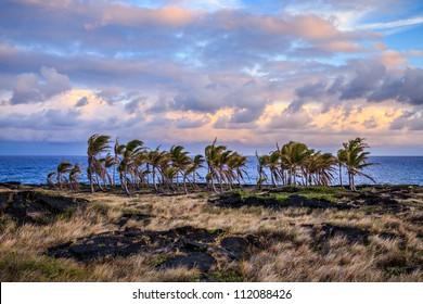 Hawaiian Palm Trees in a Lava Field near the Pacific Ocean