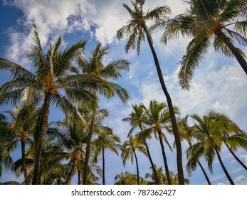 Hawaiian palms with blue sky in the back