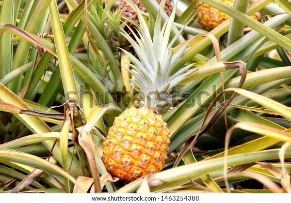 Hawaiian pineapple tropical fruit field