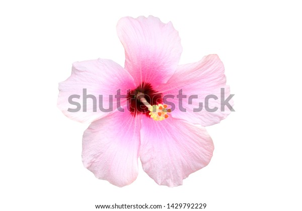 Hawaiian pink hibiscus flower isolated on white