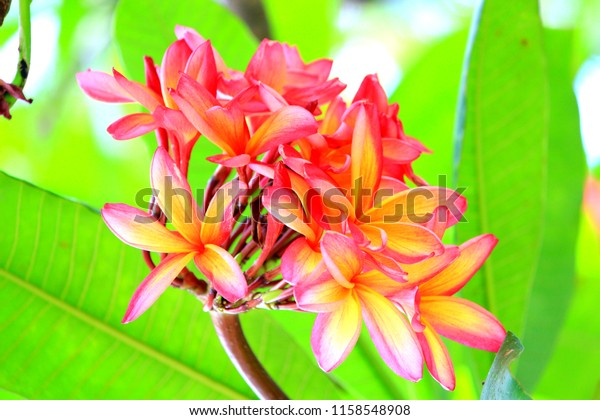 stock photo Hawaiian plumeria flower