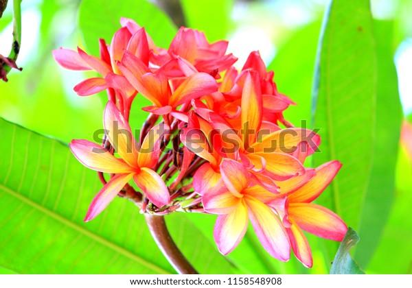 Hawaiian plumeria flower