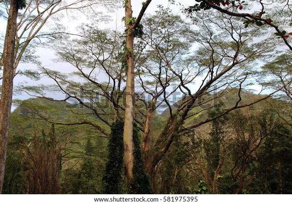Hawaiian rainforest near Manoa Falls, Honolulu, Oahu