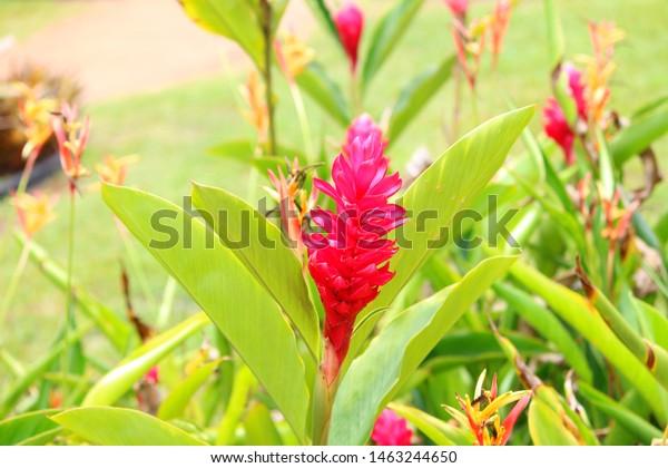 Hawaiian red ginger flower garden