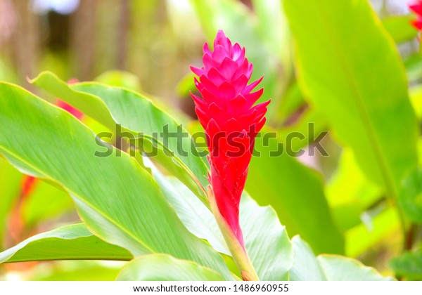 stock photo red ginger tree