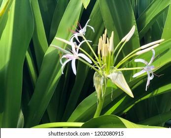Hawaiian spider lily plant