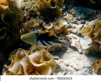 Hawaiian Triggerfish at Apia, Samoa