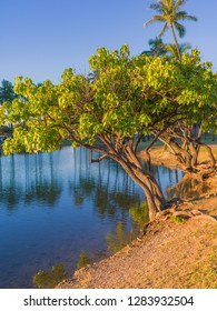 Hawaiian Tropical Lagoon Shoreline.  Kukui Nut Tree in the foreground with coconut palm trees fringing the lagoon.