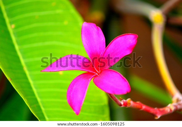 Hawaiian tropical pink plumeria flower