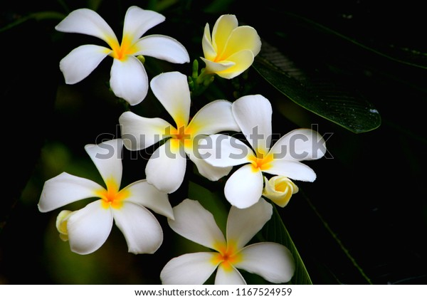 Hawaiian white plumeria