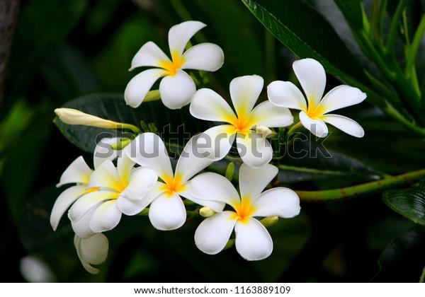Hawaiian white plumeria flower