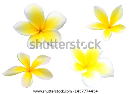 Hawaiian plumeria flower isolated on white