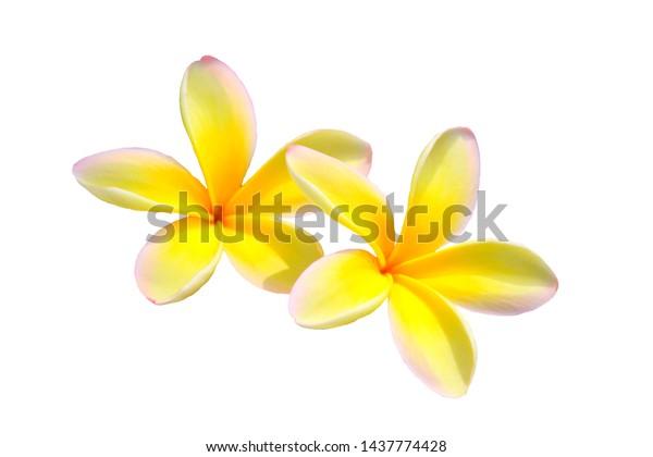 Hawaiian yellow plumeria flower isolated on white