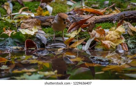 Hawfinch bird autumn forest