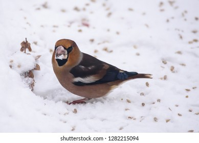 Hawfinch bird (Coccothraustes coccothraustes) in garden on snow covered ground, eating sunflower seeds during winter time.