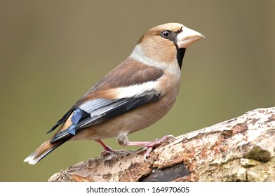 Haw-finch bird (Coccothraustes coccothraustes) sitting on a wood