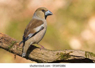 Hawfinch. Coccothraustes coccothraustes.