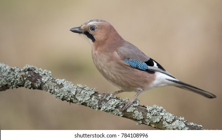 Hawfinch (Coccothraustes coccothraustes).Diffused background.Bird of Europe.Poland