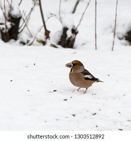 Hawfinch, Coccothraustes Coccothraustes, colorful bird on a snowy ground