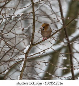 Hawfinch, Coccothraustes Coccothraustes, colorful bird sitting in a tree looking for food in wintertime