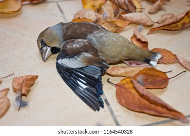 Hawfinch (Coccothraustes coccothraustes) lies dead next to autumn leaves on the tiles of a terrace or balcony after has flown against a windowpane.