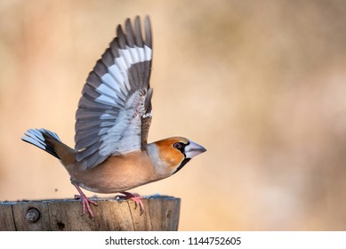 Hawfinch (Coccothraustes coccothraustes) sitting on a stump with its wings open.