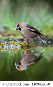 The Hawfinch, Coccothraustes coccothraustes is sitting at the waterhole in the forest, reflecting on the surface, preparing for the bath, colorful backgound with some flower.